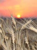 Wheat. Crop in the field on a sunset Stock Photos