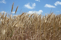 Wheat. Close up of wheat in a field under blue sky and white clouds Royalty Free Stock Image