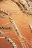 Wheat. Ears on an orange background Royalty Free Stock Photography