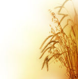 Wheat. Beautiful Wheat Border.Isolated on a white background stock photography