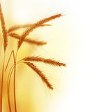 Wheat. Beautiful Wheat Border.Isolated on a white background royalty free stock photography