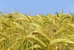 Wheat. Image of ripe wheat crop Royalty Free Stock Photography
