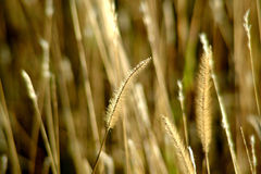 Wheat. Close up of wheat in the sunshine Royalty Free Stock Photo