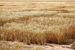 Wheat. Ready for harvest Royalty Free Stock Photos