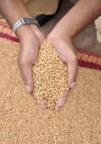 Wheat. Hand with wheat seeds on male hand Royalty Free Stock Photography