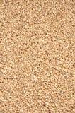 Wheat. Close up shot of wheat Stock Image