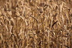 Wheat A Stock Photography