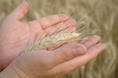 Wheat. Ear in hands Royalty Free Stock Photos