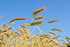 Wheat. Gold wheat under the blue summer sky Royalty Free Stock Image