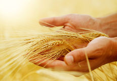 Free Wheat Stock Photos - 15004993
