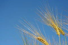Wheat. Close-up of wheat with blue sky background Royalty Free Stock Photography