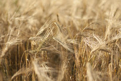 Wheat. Ripe wheat with yellow background Royalty Free Stock Image
