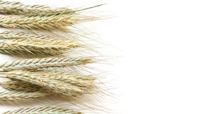 Wheat. Ears lie on a light background Stock Images