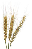 Wheat. Cones isolated on white Stock Image