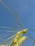 Wheat. Field stock photo
