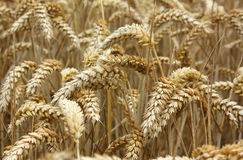 Wheat. A close up of golden ripe wheat ears in a field Royalty Free Stock Photo