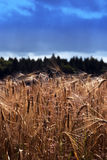 Wheat Royalty Free Stock Photography