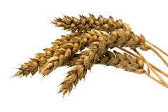 Wheat. The ears of wheat photographed on a white background Stock Images