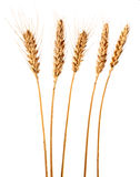 Wheat. Golden wheat on white background Stock Photography