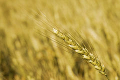 Wheat. Ear below smooth field background Stock Photo