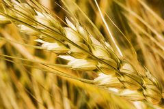 Wheat. Diagonal wheat macro with smooth background Stock Image