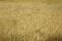 Wheat. Golden wheat field backgraound plant stock images