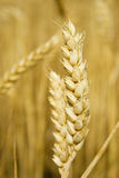 Wheat. Close up of wheat stem Royalty Free Stock Photos