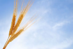Free Wheat Royalty Free Stock Photography - 18811277