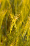 Wheat. Close up of wheat taken in paddock very late afternoon stock photography
