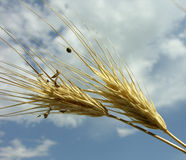 Wheat. In detail Stock Images