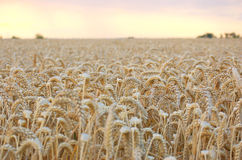 Wheat 2 Stock Images