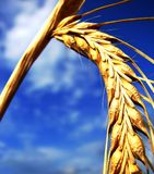 Wheat. Shot of wheat on a sunny day royalty free stock photography