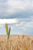 Wheat. Single ear of wheat against a field of crop and a dramatic stormy summer sky Royalty Free Stock Images