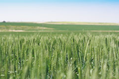 Wheat. The field of green wheat Royalty Free Stock Images