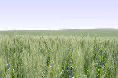 Wheat. The field of green wheat Royalty Free Stock Photos