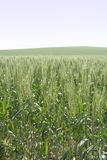 Wheat. The field of green wheat Royalty Free Stock Photography
