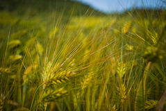 Wheat. On the summer time Stock Image