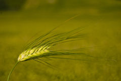 Wheat. On the summer time Stock Photos