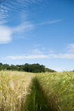 Wheat in Norway. Wheat on the summer time Stock Photo