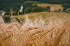 Wheat. On the summer time Royalty Free Stock Photos