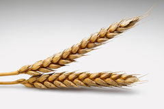 Wheat. Plant over a grey background Stock Photo