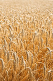 Wheat. Photo of a ripe wheat Stock Photos