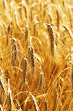 Golden ripe wheat. Closeup of golden ripe wheat in field Royalty Free Stock Photo