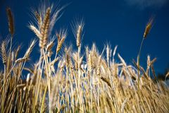 Wheat. Sky summer yellow clouds Royalty Free Stock Photo
