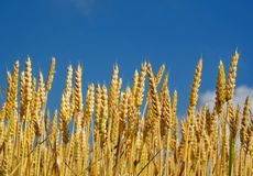 Wheat. Gold wheat under the blue summer sky Stock Image