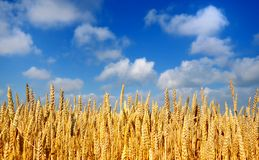 Wheat. Gold wheat uder the blue summer sky Stock Photo
