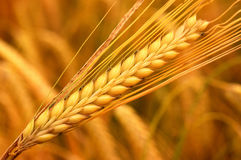 Free Wheat Royalty Free Stock Photography - 2437917