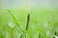 A wheat Stock Photo