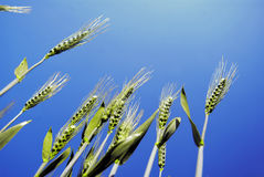 Wheat. Ears wheat, on blue sky, backlight Stock Photos