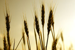 Wheat. Golden wheat against a glowing sky Royalty Free Stock Images